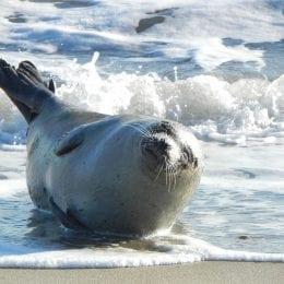 Opalující se tuleň si zvyšuje imunitu stejně jako úklid Hylou