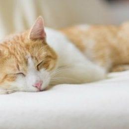 kočka spí s hylou v článku jak odstraňovat kočičí chlupy