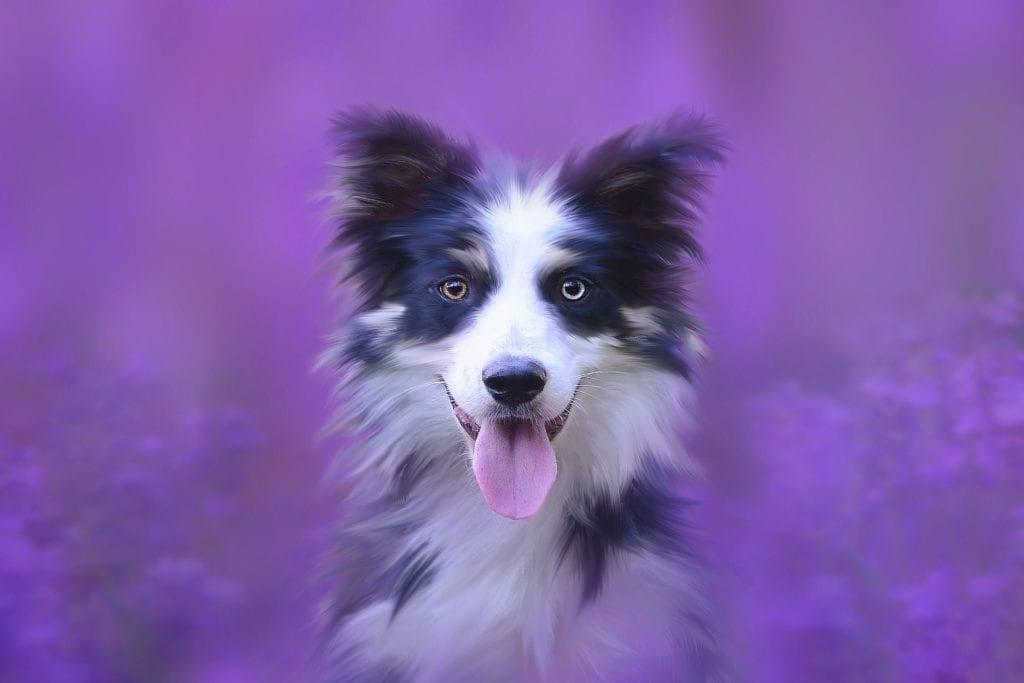 Psa nejlépe zklidníte levandulí z Čisté pohody